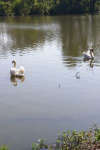 Swans at Savannah KOA